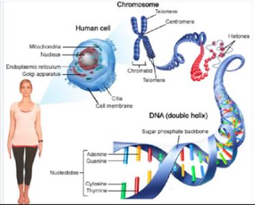 Gen DNA dan Kromosom